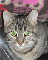 "Adult Female Cat - Domestic Short Hair: ""Cruise"""