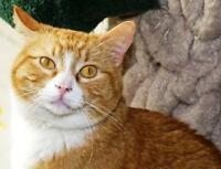 "Adult Male Cat - Tabby - Orange-Tuxedo: ""Eddie"""