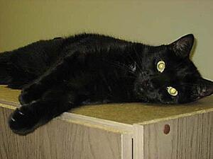 "Adult Male Cat - Domestic Short Hair: ""ET"""