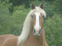 15.5 HH registered Belgian gelding