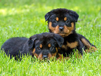 Rottweiler puppies and young adults