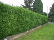 Evergreen Hedging Plants