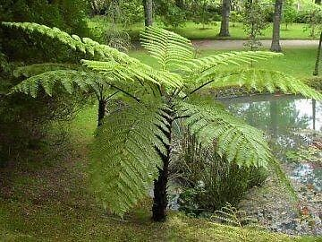 Healthy 8 year old Tree Fern, 2m Tall. PLUS 2 Freebies. Normanhurst Hornsby Area Preview