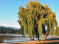 Willow tree wanted! You heard right. Outta town and outta sight.