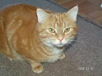 "Adult Female Cat - Tabby - Orange: ""Bethany"""
