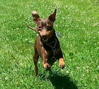 Champ - young, quiet cutie-pie! * Min Pin Rescue Group*