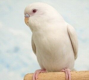 Looking for an Albino budgie