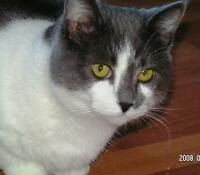 "Adult Female Cat: ""Hawley"""