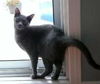 "Young Female Cat - Domestic Short Hair-gray: ""Jasmine"""