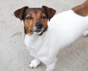 Adult Female  - Jack Russell Terrier-Dachshund