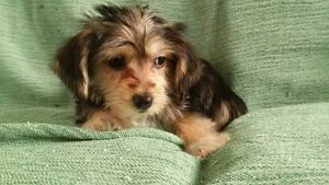 Adorable MORKIE Maltese x Yorkshire Terrier puppies ready now.