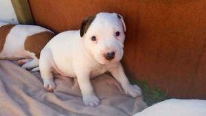 Am Staff pups Alexandra Headland Maroochydore Area Preview