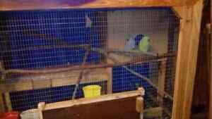 Ringneck birds Ipswich Ipswich City Preview