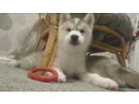 Kc Registered Siberian Husky Pups