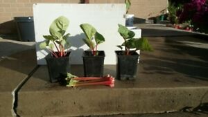 3 Vigorously growing potted Red Rhubarb for sale, Belleville