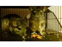 selling my chinchillas as i just dont have to time for them due to college and work £170 o.n.o