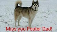 "Adult Male Dog - Husky: ""Sirius"""