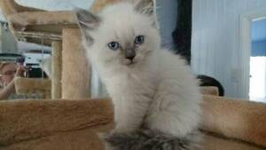 ADORABLE CUDDLY PUREBRED RAGDOLL KITTENS Carina Brisbane South East Preview