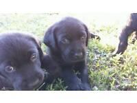 Beautiful Chunky Pedigree Labrador puppies