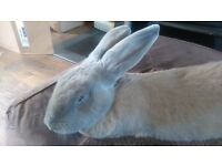 Peter Rabbit A 17 Month Old Continental Giant Rabbit Needing New Home