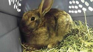 Young Female  - English Spot-Bunny Rabbit