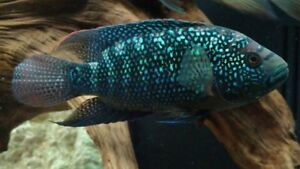 Very beautiful Jack Dempsey - 8 to 9 inch male