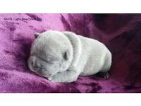 blue french bull dog puppies (3)