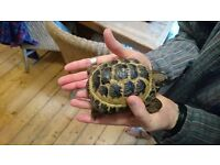 Female Horsfield Tortoise Appx 5 yrs old available for Rehoming in Edinburgh