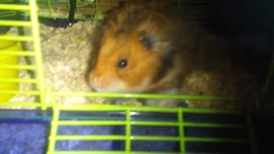 2 Syrian hamsters to good home