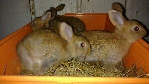 4 baby flemish giant Femail bunny rabbit's for sale,