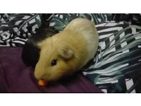 3 Male guinea pigs + Big cage + 2 Carriers + Extras
