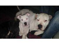 2 american bulldog pups