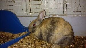 Young Breeding Pare of Polish Harlaquin X Rabbit's for sale,