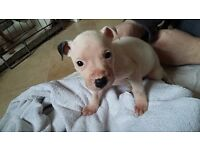 4 Staffy Pups Left