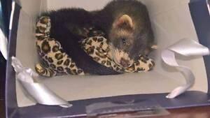 Little Dooks Ferret Care- for all ferrets Adelaide CBD Adelaide City Preview