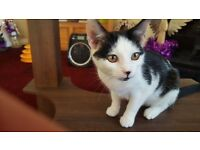 Beautiful young black and white cat - FREE TO A GOOD HOME