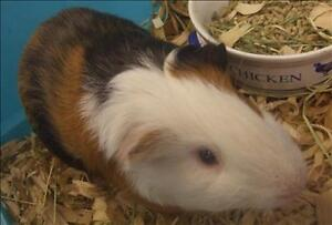 "Adult Male Small & Furry - Guinea Pig: ""Arnold"""