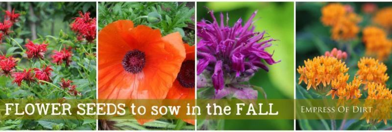 See my collection for more examples of flower seeds you can sow in the autumn for a jump start on spring flowers.