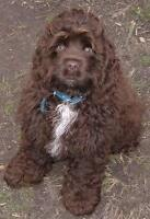cocker spaniel to rehome