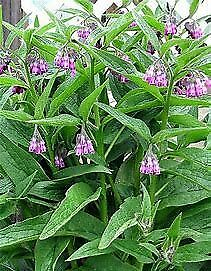 Comfrey Root Cuttings: Bocking 14 Organically and Sustainably Grown