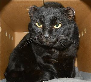 """Adult Male Cat - Domestic Short Hair: """"Jerry"""""""