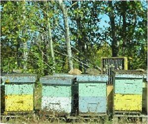 Abeilles, Reines, Nucleii, Paquets ou Colonies - Bee Techopia