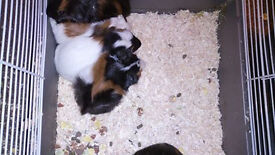 3 young females and one male guinea pigs!