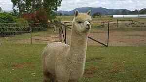 Pair Male and female alpaca free delivery Woodford Moreton Area Preview