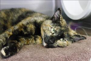 "Adult Female Cat - Domestic Short Hair: ""Tippie"""