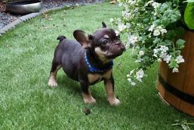French Bulldog Pups Testable & 2 X Intensity