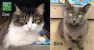 "Adult Female Cat - Domestic Short Hair: ""Zoe & Sira"" Oakville / Halton Region Toronto (GTA) image 2"