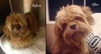 "Senior Male Dog - Lhasa Apso: ""Abner"""