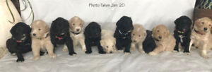 All Pyredoodle puppies have found fantastic homes; thank you!