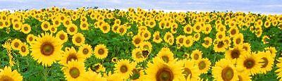 sunflowervwcamper
